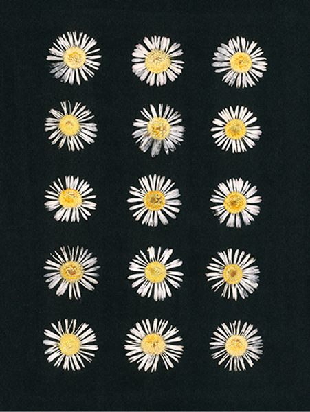 helen-mcconnell-15-daisies.png