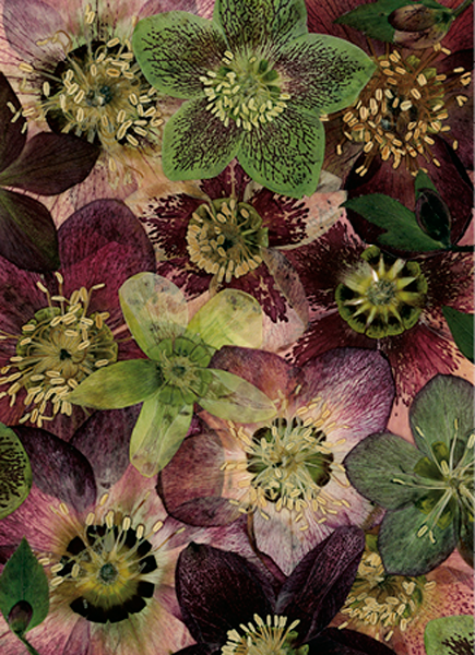 helen-mcconnell-hadlow-hellebores.png