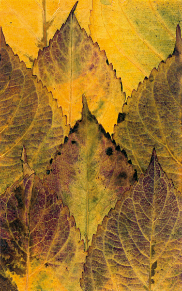 helen-mcconnell-hydranger-leaves.png