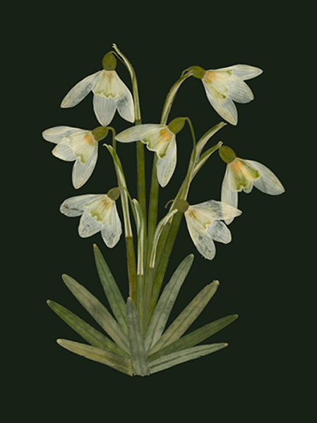 helen-mcconnell-snowdrops.png